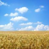 Beautiful wheat field. Under blue sky Stock Photos