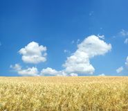 Beautiful wheat field. Background XXL Royalty Free Stock Photos