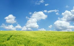 Beautiful wheat field. Under blue sky Stock Photography