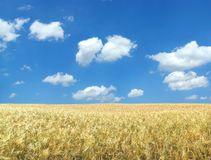Beautiful wheat field Stock Photos