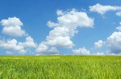 Beautiful wheat field. Under blue sky Stock Image