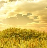 Beautiful wheat field. In the sunset Stock Images