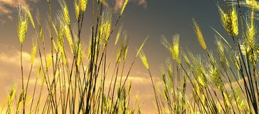 Beautiful wheat field. In the sunset Royalty Free Stock Photo