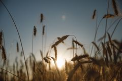 Wheat field. Ears of golden wheat close-up. Background of the ripening ears of the field of meadow wheat. stock images