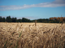 Beautiful Wheat Field Stock Photography