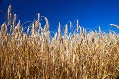Beautiful wheat field Royalty Free Stock Photo