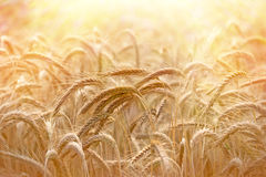 Beautiful wheat field illuminated by sunlight Royalty Free Stock Image