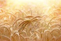 Beautiful wheat field illuminated by sunlight Royalty Free Stock Image