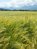 A beautiful wheat field. A beautiful wheat field with mountains in the background Stock Illustration