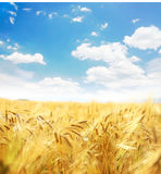 Beautiful wheat field. Royalty Free Stock Photo