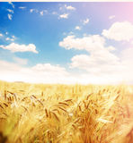 Beautiful wheat field. Stock Images