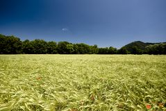 Beautiful wheat field in Slovenia Stock Photography