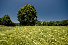 Beautiful wheat field in Slovenia Royalty Free Stock Images
