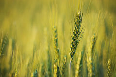 Beautiful wheat field. Royalty Free Stock Images
