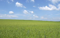 Beautiful wheat field in spring Stock Images