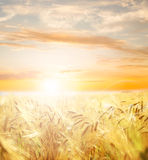 Beautiful wheat field. Stock Photos