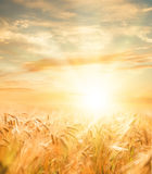 Beautiful wheat field. Royalty Free Stock Photography