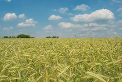 Beautiful wheat field under the blue cloudy sky during summer season royalty free stock images