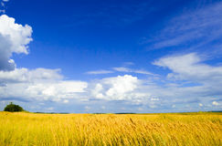 Beautiful Wheat Field under Dramatic Sky Royalty Free Stock Photography
