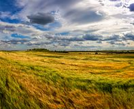 Beautiful wheat field in windy weather. Field against the sky. Ukrainian landscape. Ukraine.  royalty free stock photos