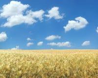 Beautiful wheat field XXL. Beautiful wheat field under blue sky XXL Royalty Free Stock Photos