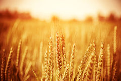 Beautiful wheat field royalty free stock photos