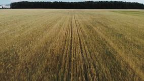 Beautiful wheat fields! stock footage