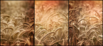 Beautiful wheat fields, successful rich harvest Royalty Free Stock Image