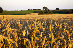 Beautiful Wheat.Sunset Stock Photography