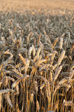 Beautiful Wheat.Sunset Royalty Free Stock Photos