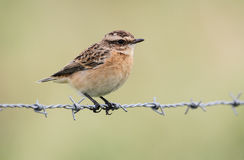 A beautiful Whinchat, Saxicola rubetra, perched on barbed wire. Royalty Free Stock Photography