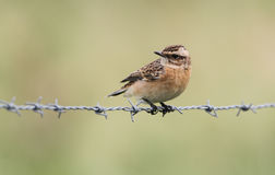 A beautiful Whinchat, Saxicola rubetra, perched on barbed wire. Stock Photography