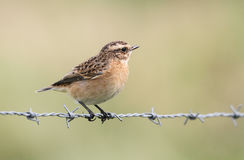 A beautiful Whinchat, Saxicola rubetra, perched on barbed wire. Stock Images