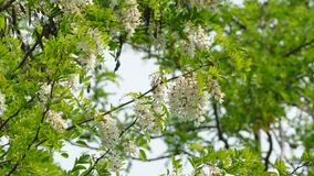 Beautiful White Acacia Tree In Blossom. Branches of beautiful white acacia tree in full blossom with lots of small gentle flowers swaying on light wind in stock footage