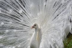 Beautiful White Albino Peacock Showing it all off royalty free stock image