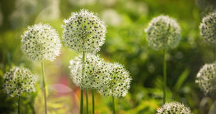 Beautiful White Allium Circular Globe Shaped Flowers Blow In The Wind Royalty Free Stock Image