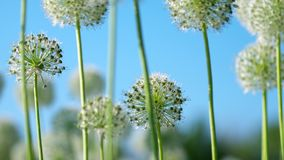 Beautiful White Allium circular globe shaped flowers blow in the wind stock video footage