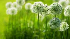 Beautiful White Allium circular globe shaped flowers blow in the wind stock video