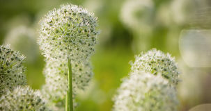 Beautiful White Allium circular globe shaped flowers blow in the wind Stock Photos