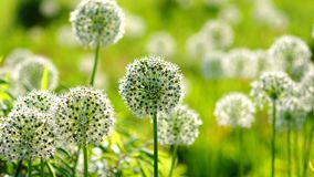 Beautiful White Allium circular globe shaped flowers blow in the wind stock video