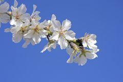 Beautiful white almond blossom Stock Images