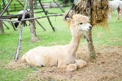 Beautiful white alpaca in the grass field for animal background. royalty free stock image