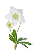 Beautiful white anemones Royalty Free Stock Images