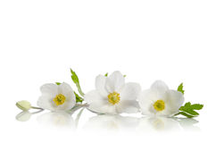 Beautiful white anemones flowers Stock Images