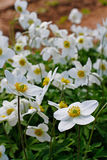 Beautiful white anemones flowers in garden Stock Photography