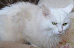Cat, white, animal, pet, kitten, cute, feline, domestic, fur, kitty, portrait, eyes, fluffy, pets, mammal, blue, breed, cats, ragd