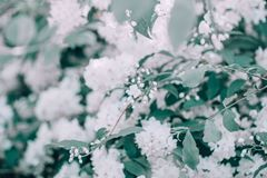 Beautiful white apple blossom flowers with green leaves on blurry background bokeh. Toned with filters and light leak. Soft selective focus. Macro closeup stock image