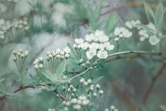 Free Beautiful White Apple Flowers Buds On Tree Branches Stock Photography - 148977302