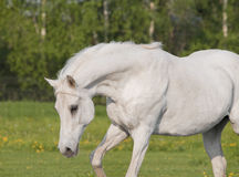 Beautiful white arab horse in summer field Stock Photo