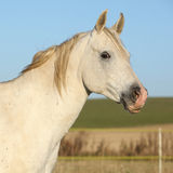 Beautiful white arabian horse in autumn Stock Photography